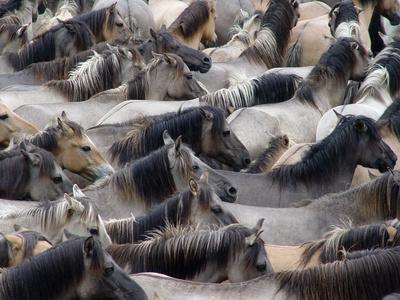 dülmen münsterland wildpferde