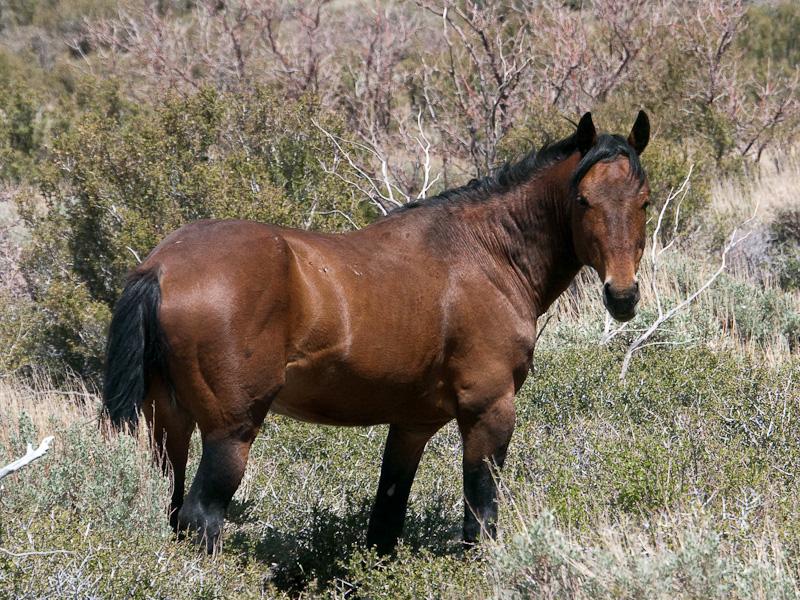 Wildpferde Und Mustangs In Den Usa Kanada Und Weltweit