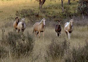 brumbies-meadow